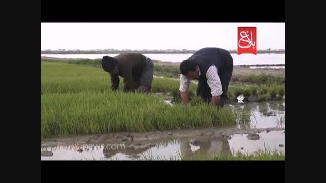 کلیپ جالب از نشای برنج در مازندران