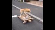 لاکپشت سواری سگ