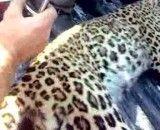 مرگ یک قلاده پلنگ ایرانی در سیاهکل