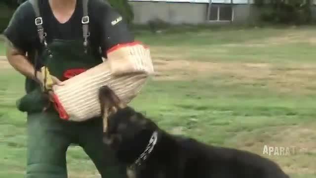 حمله سگ ژرمن شپهرد به خاطر حافظت از دختر بچه 4 ساله