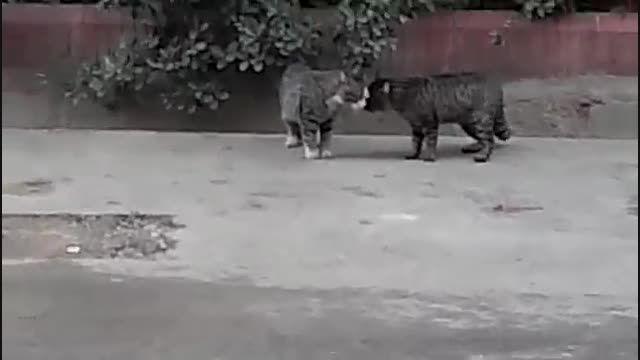 دعوا خیلی باحال دو گربه و گربه سوم معروف به سوپرگربه