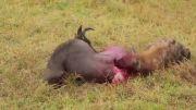 خوردن شکار وقتی شکار هنوز زنده است