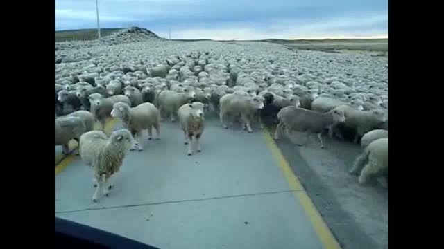 صاحب این همه گوسفند مولتى میلیاردر