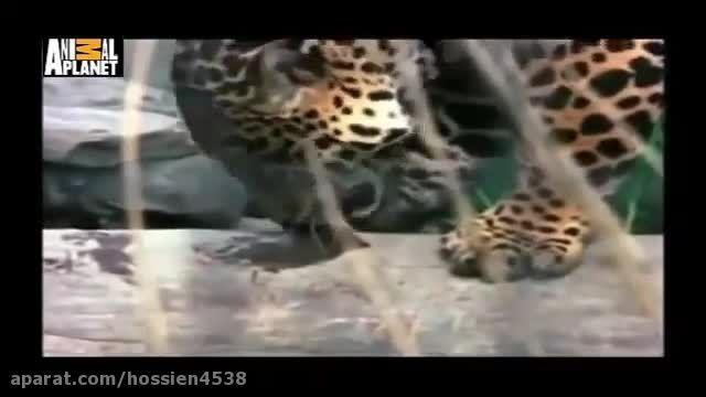 کشته شدن دردناک پلنگ به دست کروکدیل