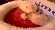 فروش بچه گربه های زیبا و اصیل هیمالین ( شاهکار سایمون )