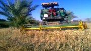 کمباین - درو کردن گندم - زمین کشاورزی رامهرمز - برداشت محصول