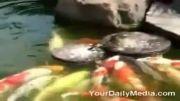 اردک منقار ودلباز