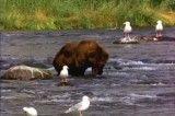 عبور خرس از رودخانه وشکار ماهی