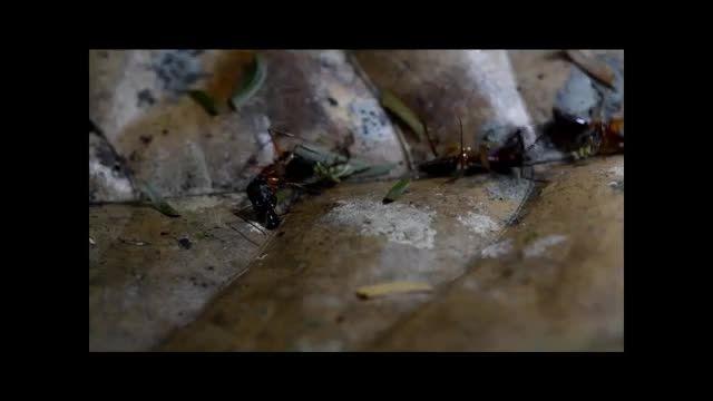 مگس هایی که سر می برند - دانستنیها