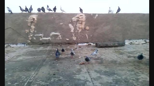 کبوتر پلاکی سیستان