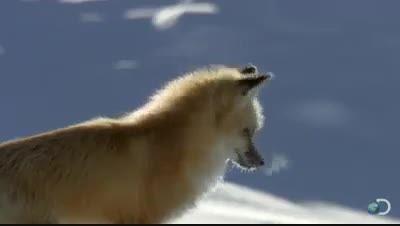 به این روباه گفته میکنند روباه بسیارزیبا شکارکرده میکند