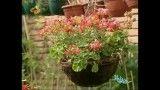 آشنایی و راهنمای نگهداری از گیاه شمعدانی