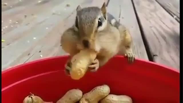 بادام زمینی ها و سنجاب ها