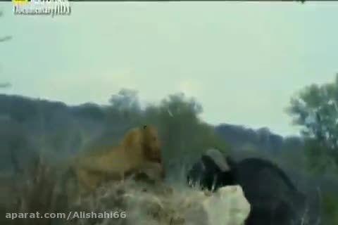 کشته شدن شیر توسط گاو