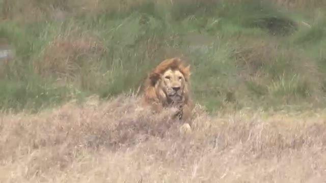 شیر جنوب شرقی آفریقا