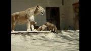 توله شیرها و مادرشان (پارک ارم)