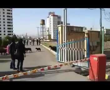 چریدن گوسفندان جلوی درب دانشگاه علوم پزشکی زنجان