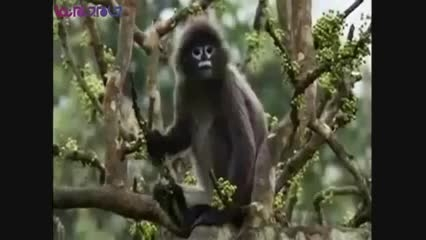 مار پیتون،میمون را بلعید+فیلم ویدیو کلیپ حیوانات خطرناک