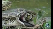 انتقام گرفتن بزرگترین مار پیتون از کروکدیل