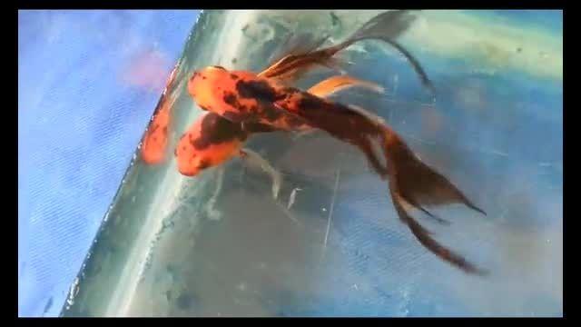 فروش ماهی کویفروش ماهی کوی hi utsuri bf ۱۵cm no ۱۶۶a