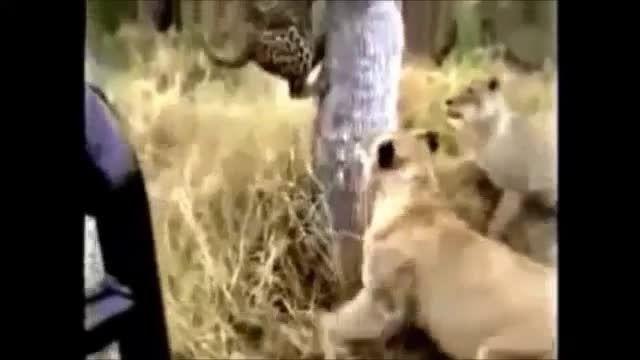 شکار بسیار جذاب و دیدنی حیوانات وحشی..