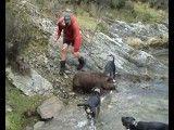 شکار خطرناک گراز با سگ