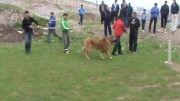 سگ قفقازی تومان سرخ