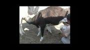 گوساله 5 ماهه نادر در طبس که شیر می خورد و همزمان شیر می دهد