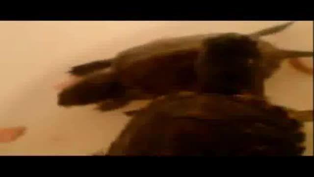 کوکتل خوردن لاک پشت