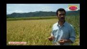 افزایش باردهی برنج با مصرف کم از کود بدون سمپاشی و آفت