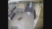 حمله پلنگ به سگ در بیمارستان