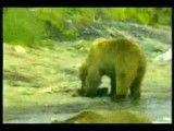 کشتن توله خرس توسط خرس نر