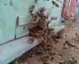 فعالیت زنبورهای کارگر برای جمع آوری گرده در اردیبهشت ماه 91