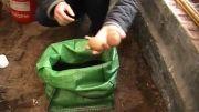 ..::( کاشت سیب زمینی با ورمی کمپوست )::..