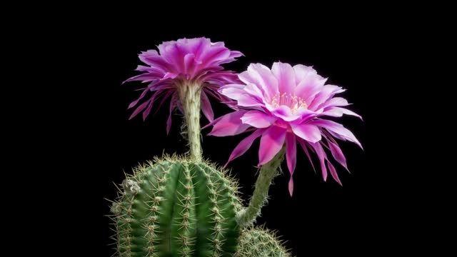 زیبایی های خیره کننده گلهای کاکتوس