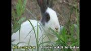 خرگوشِ شکمو
