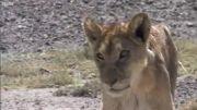 جدال شیرها برای زنده ماندن