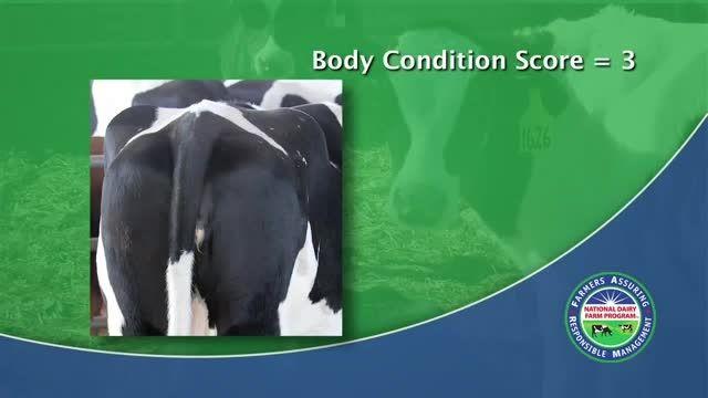 امتیاز دهی به بدن گاو شیریBCS