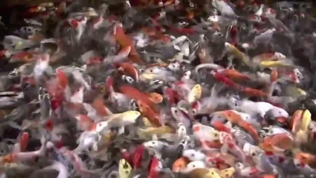ماهی های زیبای کوی باله بلند