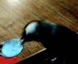 بلبلی که ماست و خیار میخورد-