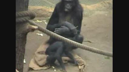 ابراز تاسف میمون و نه گفتن با اشاره مثل آدمها