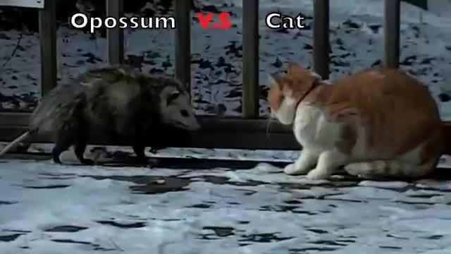 مهارت عجیب گربه در پنجه زدن ( نبرد گربه با صاریغ ) جالب