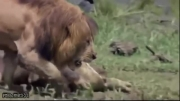 نبرد بر سر غذا بین شیر و تمساح!!