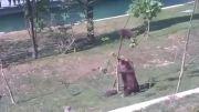 پایین آوردن بچه خرس به روش مامان خرسه(justclip.ir)