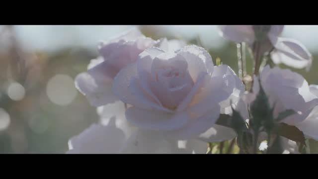 عطر سفیر - روش جالب دیور برای استخراج عصاره گل رز