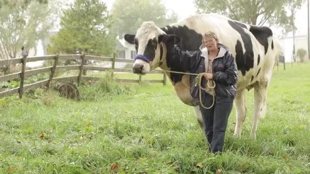 بلندترین گاو دنیا با قد 195 سانتیمتری!