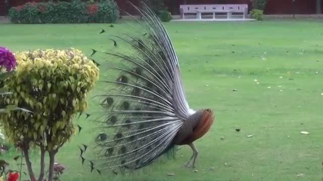 مستند اعلی درجه زیبایی طاوس یعنی زیباترین پرنده جهان