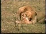 کشتن  وحشتناک توله شیر ها توسط شیر نر
