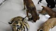 غذا دادن به سگها در کنار یک توله ببر