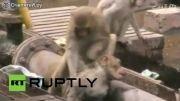 رفتار خنده دار میمون با یک میمون مصدوم